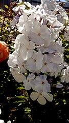 340 X 604 57.3 Kb 604 X 403 51.5 Kb 604 X 402 39.4 Kb Саженцы роз, флоксов, хризантем, дельфиниумов и других многолетников от 60 руб.