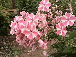 1152 X 864 444.5 Kb Продажа редких растений из питомника 'Мой сад'