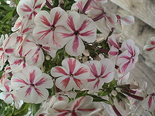 1152 X 864 404.9 Kb 1152 X 864 444.5 Kb Продажа редких растений из питомника 'Мой сад'