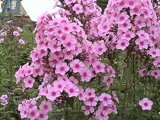 1152 X 864 493.5 Kb Продажа редких растений из питомника 'Мой сад'