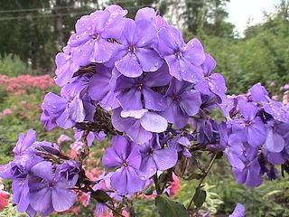 1152 X 864 443.3 Kb Продажа редких растений из питомника 'Мой сад'