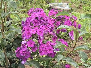 1152 X 864 477.3 Kb 1152 X 864 443.3 Kb Продажа редких растений из питомника 'Мой сад'