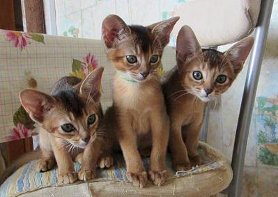 1172 X 833 212.3 Kb 1391 X 1791 368.1 Kb Веточка для Коржиков.и абиссинских кошек