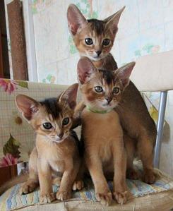 900 X 1099 205.0 Kb 1172 X 833 212.3 Kb 1391 X 1791 368.1 Kb Веточка для Коржиков.и абиссинских кошек