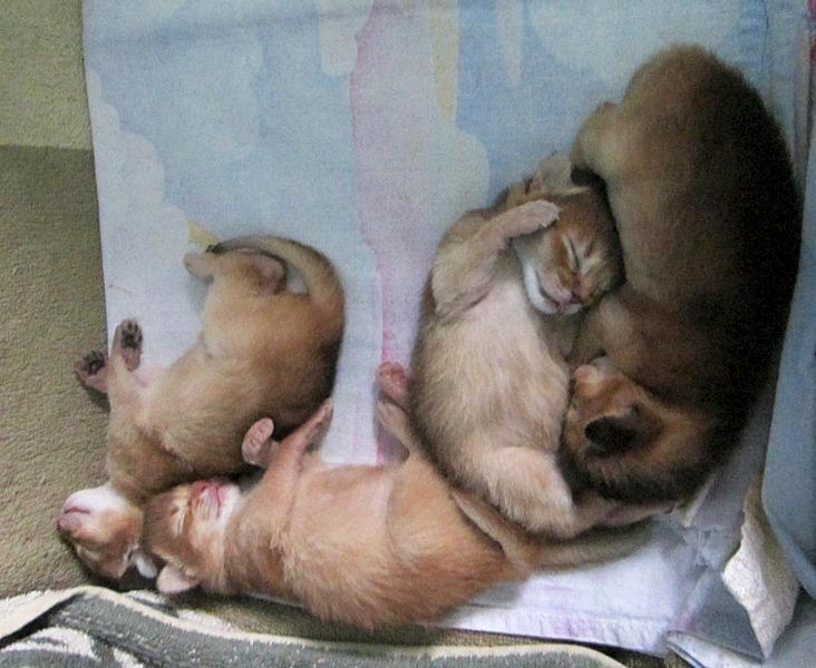 1573 X 1289 408.0 Kb Веточка для Коржиков.и абиссинских кошек