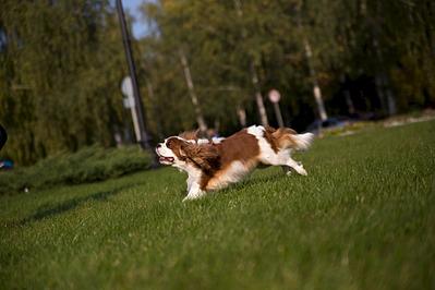 1920 X 1280 350.9 Kb Кавалер-кинг-чарльз-спаниель. Собака, создающая комфорт. Питомник Auroconcurr.