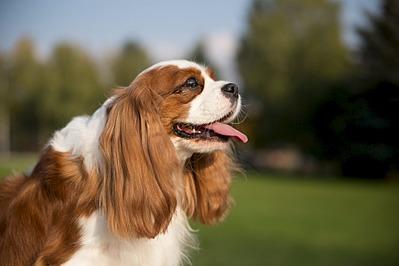 1920 X 1280 351.4 Kb Кавалер-кинг-чарльз-спаниель. Собака, создающая комфорт. Питомник Auroconcurr.