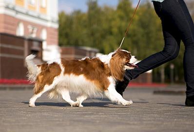 1920 X 1309 390.6 Kb Кавалер-кинг-чарльз-спаниель. Собака, создающая комфорт. Питомник Auroconcurr.