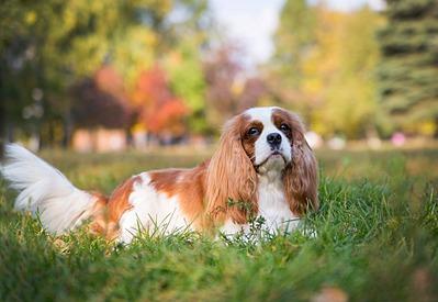 1920 X 1324 399.6 Kb 1920 X 1271 387.5 Kb Кавалер-кинг-чарльз-спаниель. Собака, создающая комфорт. Питомник Auroconcurr.