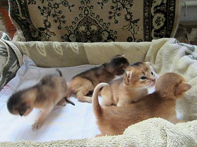 1920 X 1440 569.8 Kb 1920 X 1440 487.9 Kb Веточка для Коржиков.и абиссинских кошек у нас есть щенки и котята