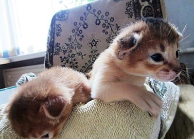 1920 X 1375 430.8 Kb Веточка для Коржиков.и абиссинских кошек у нас есть щенки и котята