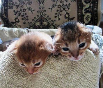 1311 X 1111 370.2 Kb 1920 X 1375 430.8 Kb Веточка для Коржиков.и абиссинских кошек у нас есть щенки и котята