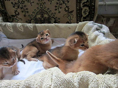 1920 X 1440 585.8 Kb 1311 X 1111 370.2 Kb 1920 X 1375 430.8 Kb Веточка для Коржиков.и абиссинских кошек у нас есть щенки и котята