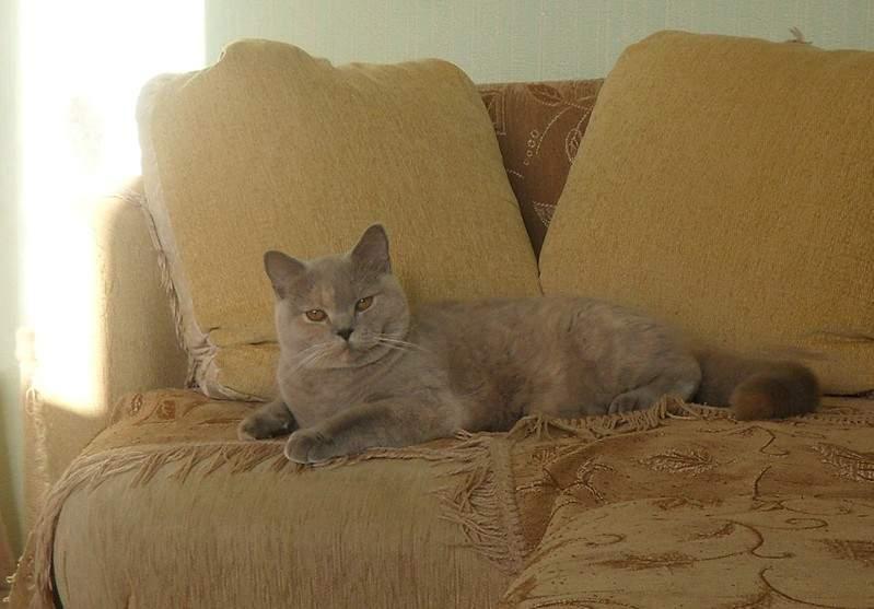 1896 X 1321 390.4 Kb Питомник британских кошек Cherry Berry's