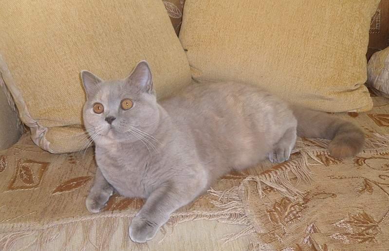 1920 X 1240 560.6 Kb 1896 X 1321 390.4 Kb Питомник британских кошек Cherry Berry's