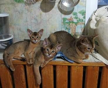 1410 X 1147 366.3 Kb Веточка для Коржиков.и абиссинских кошек у нас есть щенки и котята
