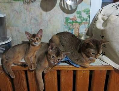 1574 X 1193 393.2 Kb 1410 X 1147 366.3 Kb Веточка для Коржиков.и абиссинских кошек у нас есть щенки и котята