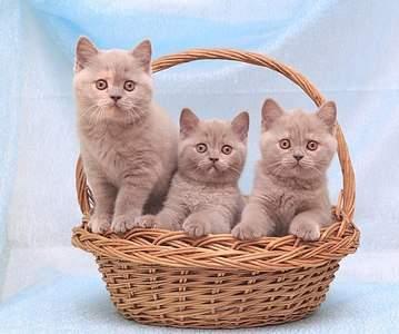 604 X 504 66.0 Kb Питомник британских кошек Cherry Berry's