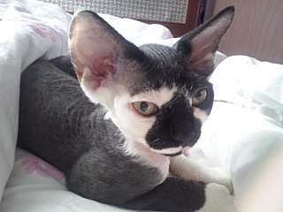 1280 X 960 151.2 Kb 768 X 1024 93.8 Kb 1280 X 960 175.0 Kb 768 X 1024 115.7 Kb Девон рекс - эльфы в мире кошек - у нас есть котята