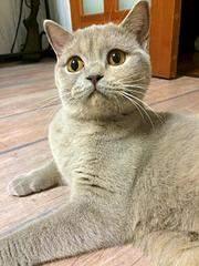 1920 X 2560 491.5 Kb Питомник британских кошек Cherry Berry's