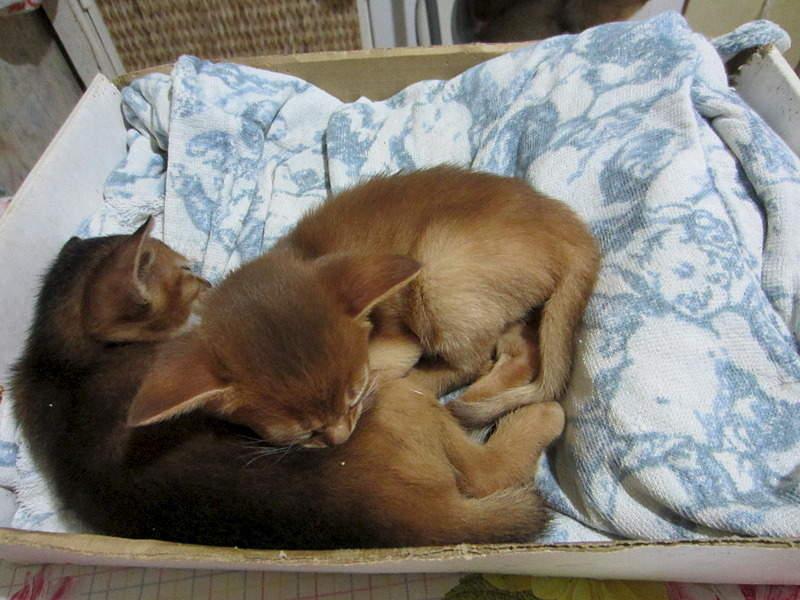 1920 X 1440 597.3 Kb Веточка для Коржиков.и абиссинских кошек у нас есть щенки и котята