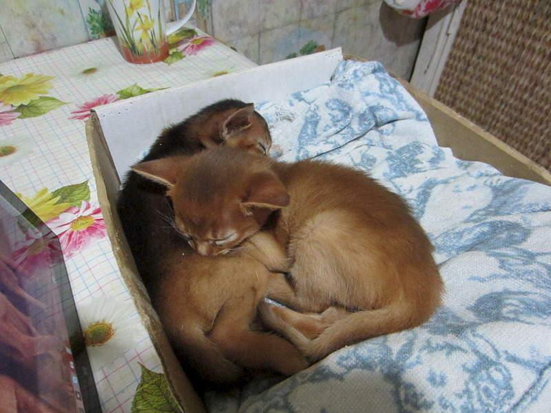 1920 X 1440 567.8 Kb 1920 X 1440 597.3 Kb Веточка для Коржиков.и абиссинских кошек у нас есть щенки и котята
