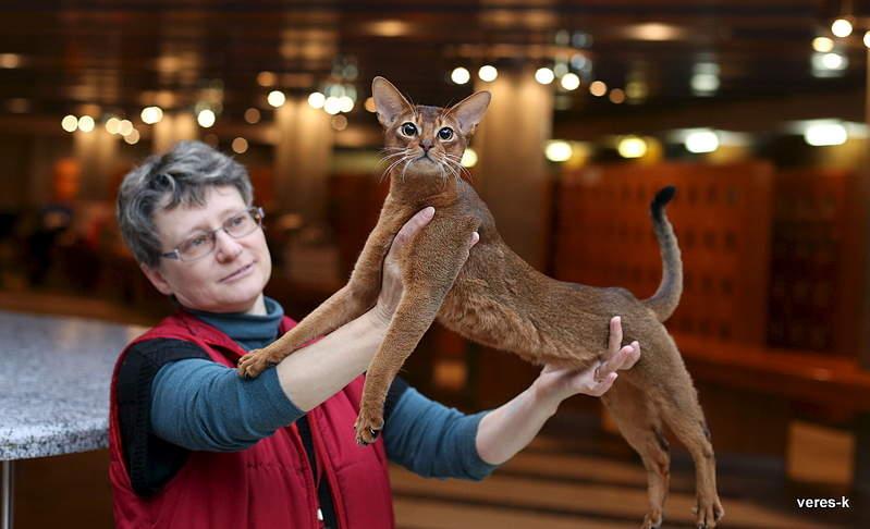 799 x 486 Веточка для Коржиков.и абиссинских кошек у нас есть щенки и котята