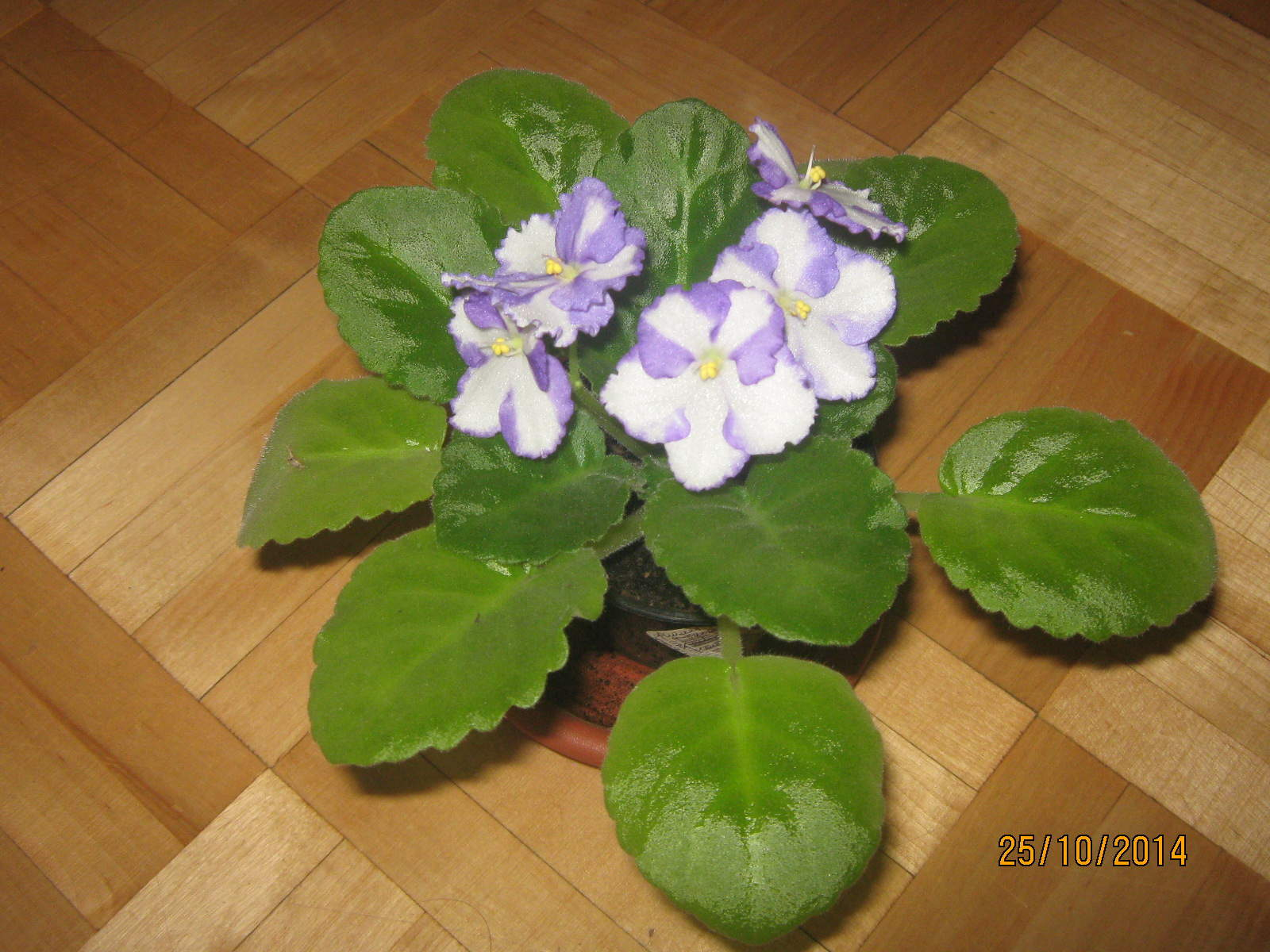 Маленькой девочке, цветы фиалки купить советский