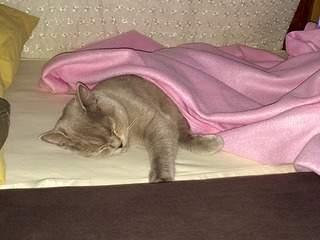 1920 X 1440 502.3 Kb Питомник британских кошек Cherry Berry's