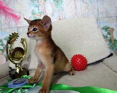 1518 X 1210 361.9 Kb Веточка для Коржиков.и абиссинских кошек у нас есть щенки и котята