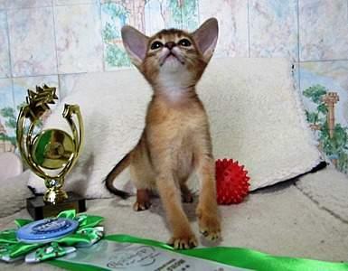 1593 X 1241 419.7 Kb 1518 X 1210 361.9 Kb Веточка для Коржиков.и абиссинских кошек у нас есть щенки и котята
