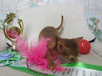 1698 X 1276 403.5 Kb Веточка для Коржиков.и абиссинских кошек у нас есть щенки и котята