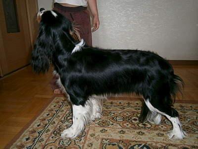 1920 X 1440 690.1 Kb Кавалер-кинг-чарльз-спаниель. Собака, создающая комфорт. Питомник Auroconcurr.