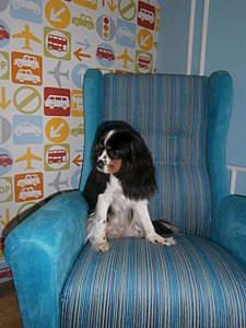 1920 X 2560 417.8 Kb Кавалер-кинг-чарльз-спаниель. Собака, создающая комфорт. Питомник Auroconcurr.