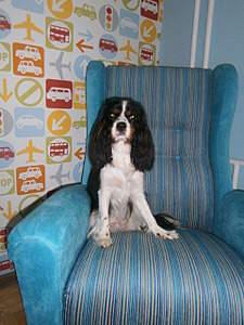 1920 X 2560 480.4 Kb 1920 X 2560 417.8 Kb Кавалер-кинг-чарльз-спаниель. Собака, создающая комфорт. Питомник Auroconcurr.