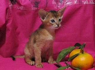 1000 X 744 164.9 Kb Веточка для Коржиков.и абиссинских кошек у нас есть щенки и котята