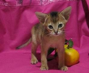 996 X 809 177.7 Kb 1000 X 744 164.9 Kb Веточка для Коржиков.и абиссинских кошек у нас есть щенки и котята