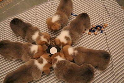 1920 X 1280 721.2 Kb Веточка для Коржиков.и абиссинских кошек у нас есть щенки и котята