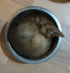 1049 X 1084 221.4 Kb 1920 X 1440 569.6 Kb Веточка для Коржиков.и абиссинских кошек у нас есть щенки и котята