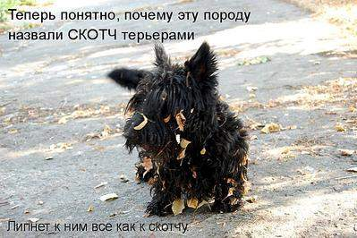 711 X 474 70.4 Kb Веточка для Коржиков.и абиссинских кошек у нас есть щенки и котята