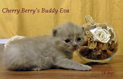 1920 X 1239 327.7 Kb Питомник британских кошек Cherry Berry's