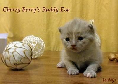 1920 X 1372 346.2 Kb 1920 X 1239 327.7 Kb Питомник британских кошек Cherry Berry's