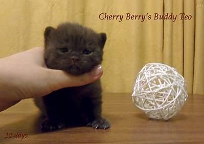1920 X 1355 873.5 Kb 1920 X 1372 346.2 Kb 1920 X 1239 327.7 Kb Питомник британских кошек Cherry Berry's