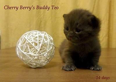 1920 X 1355 938.3 Kb 1920 X 1355 873.5 Kb 1920 X 1372 346.2 Kb 1920 X 1239 327.7 Kb Питомник британских кошек Cherry Berry's