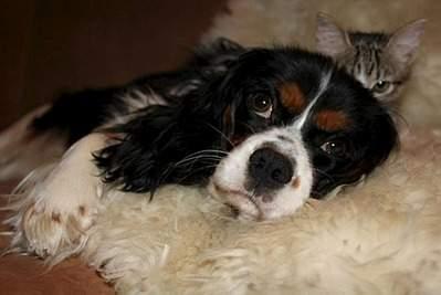 960 X 641  79.5 Kb Кавалер-кинг-чарльз-спаниель. Собака, создающая комфорт. Питомник Auroconcurr.