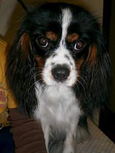 1920 X 2560 931.5 Kb Кавалер-кинг-чарльз-спаниель. Собака, создающая комфорт. Питомник Auroconcurr.