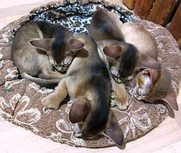 1477 X 1249 480.3 Kb Веточка для Коржиков.и абиссинских кошек у нас есть щенки и котята
