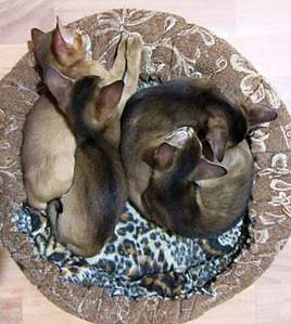 1179 X 1316 406.0 Kb 1653 X 1233 550.5 Kb 1796 X 1178 558.4 Kb 1477 X 1249 480.3 Kb Веточка для Коржиков.и абиссинских кошек у нас есть щенки и котята