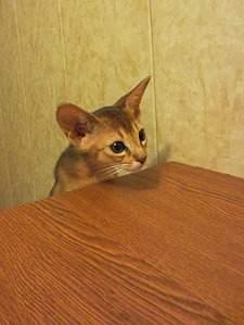 1151 X 1530 340.1 Kb 1488 X 1984 596.6 Kb 1488 X 1984 604.0 Kb Веточка для Коржиков.и абиссинских кошек у нас есть щенки и котята
