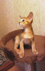 914 X 1422 252.7 Kb Веточка для Коржиков.и абиссинских кошек у нас есть щенки и котята